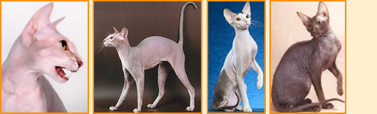 Gatto Peterbald